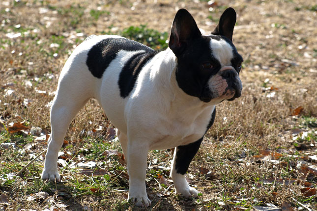 Breed Standard Picture for French Bulldogs