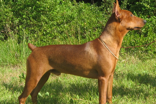 Picture of a German Pinscher