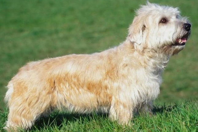 Breed Standard Picture for Glen of Imaal Terriers