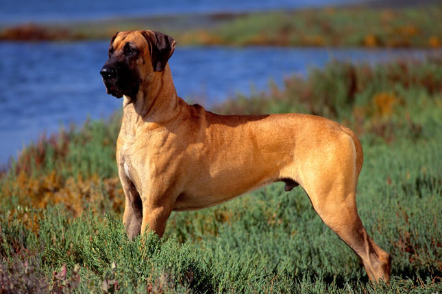 Picture of a Great Dane