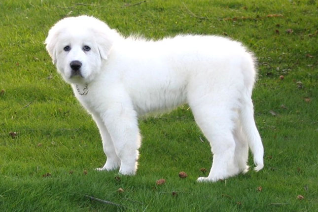 Picture of a Great Pyrenees