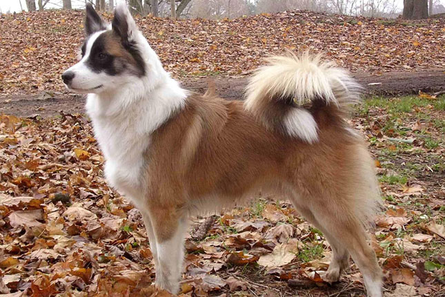 Picture of an Icelandic Sheepdog
