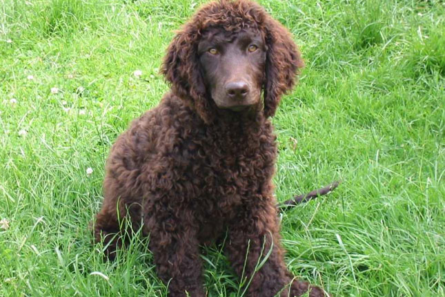 Picture of an Irish Water Spaniel