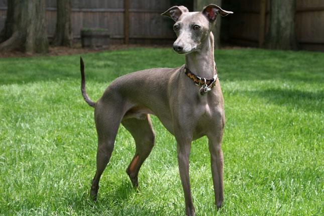 Picture of an Italian Greyhound