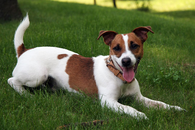 All about Jack Russell Terriers