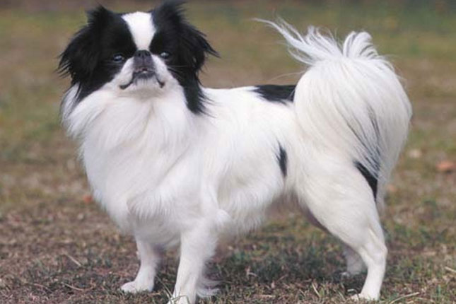 Picture of a Japanese Chin