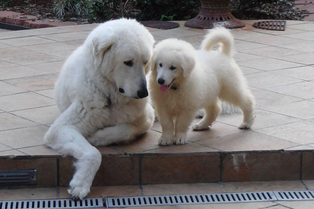 Picture of a Kuvasz