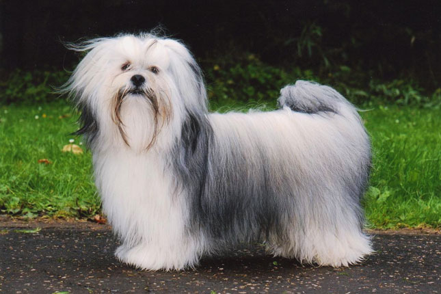 Breed Standard Picture for Lhasa Apsos