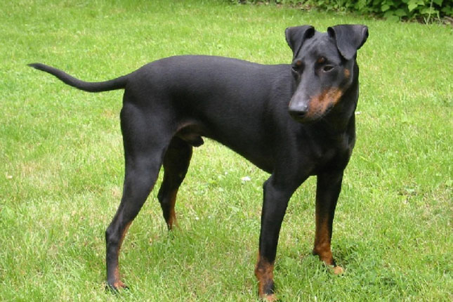 Breed Standard Picture for Manchester Terriers