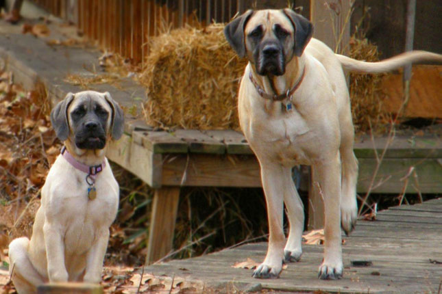 Breed Standard Picture for Mastiffs