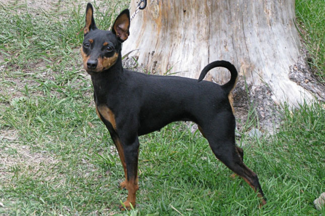Picture of a Miniature Pinscher