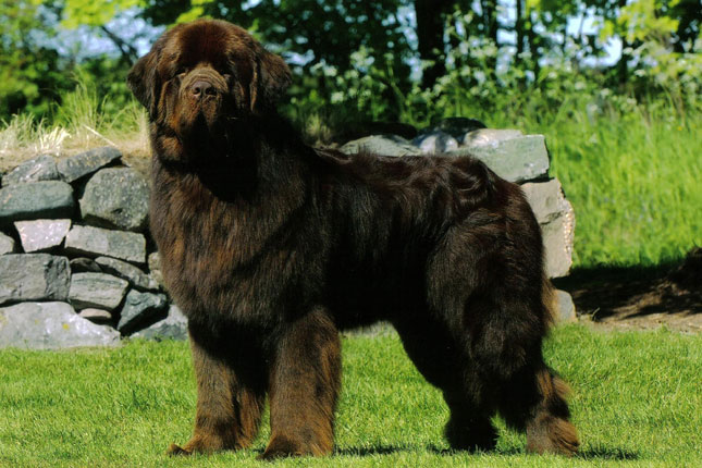 Breed Standard Picture for Newfoundlands