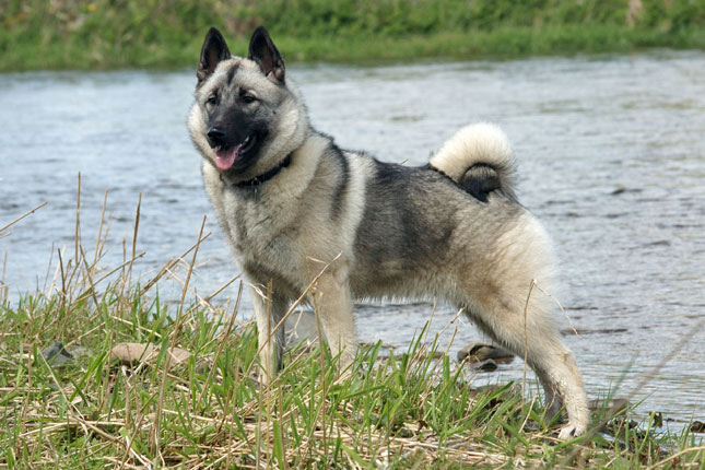 Picture of a Norwegian Elkhound