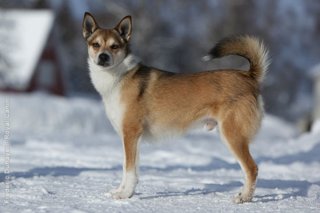 Picture of a Norwegian Lundehund