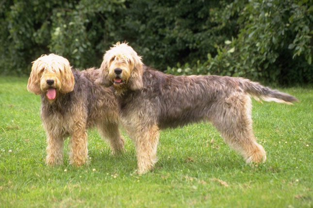 Picture of an Otterhound