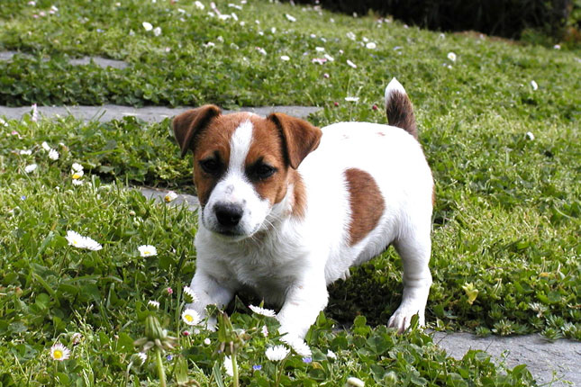Picture of a Parson Russell Terrier