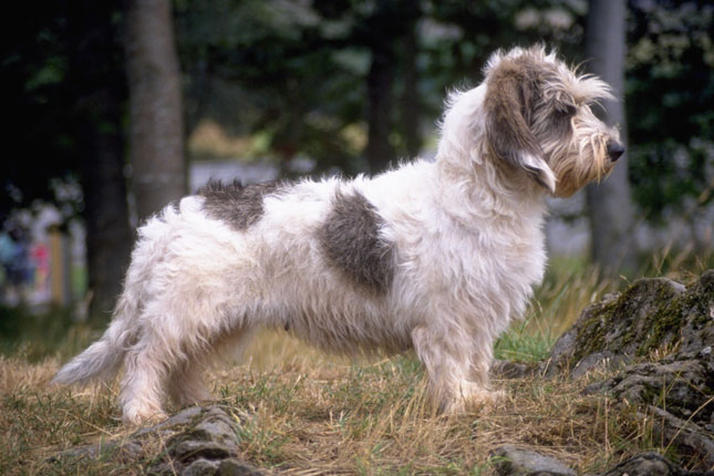 Breed Standard Picture for Petit Basset Griffon Vendeens