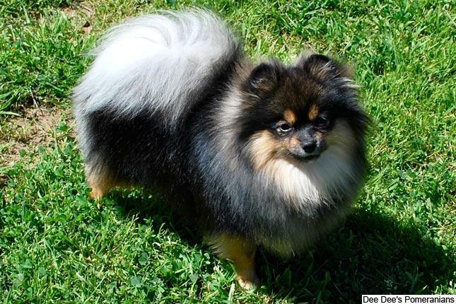 Breed Standard Picture for Pomeranians