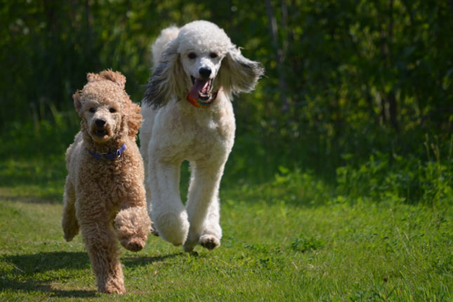 Picture of a Standard Poodle