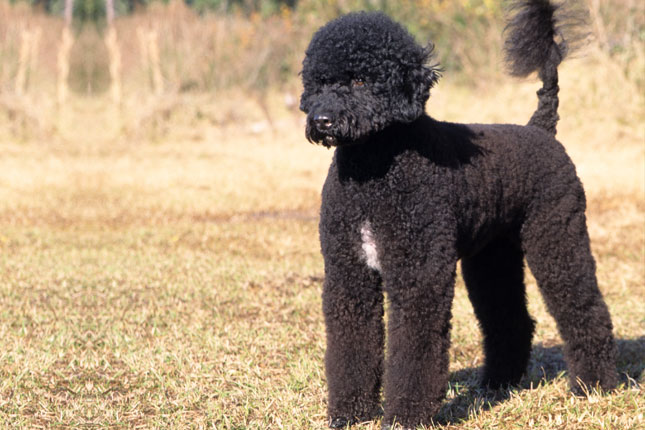 Breed Standard Picture for Portuguese Water Dogs