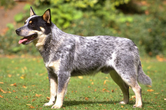 Picture of a Queensland Heeler