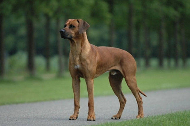 Picture of a Rhodesian Ridgeback