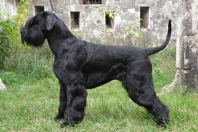 Standard schnauzer puppies for sale in pa
