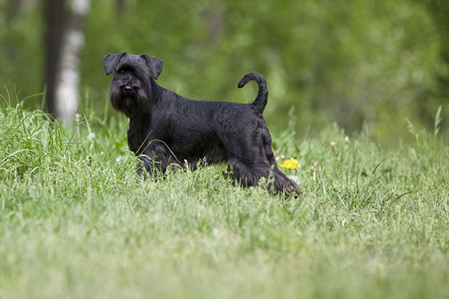 Breed Standard Picture for Miniature Schnauzers