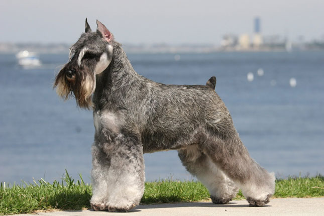 Standard german schnauzer dog
