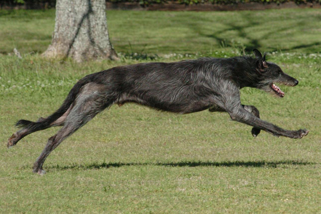 Picture of a Scottish Deerhound