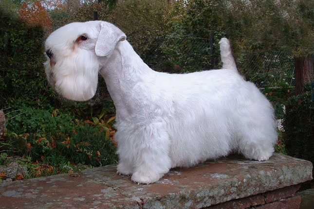 Picture of a Sealyham Terrier