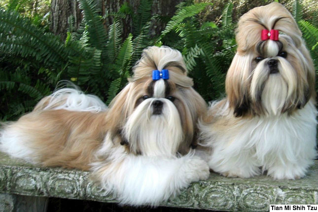 Breed Standard Picture for Shih Tzus
