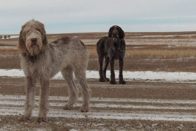 Picture of a Spinone Italiano