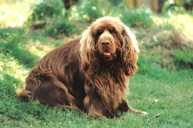 Picture of a Sussex Spaniel