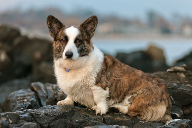 Picture of a Cardigan Welsh Corgi