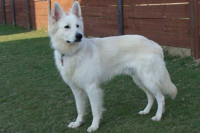 Picture of a White Shepherd