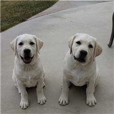 View full profile for Adams White Labradors