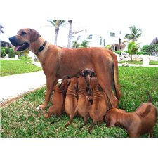 View full profile for Cavallo Creek Ridgebacks