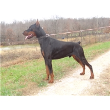 View full profile for Swank Dobermans