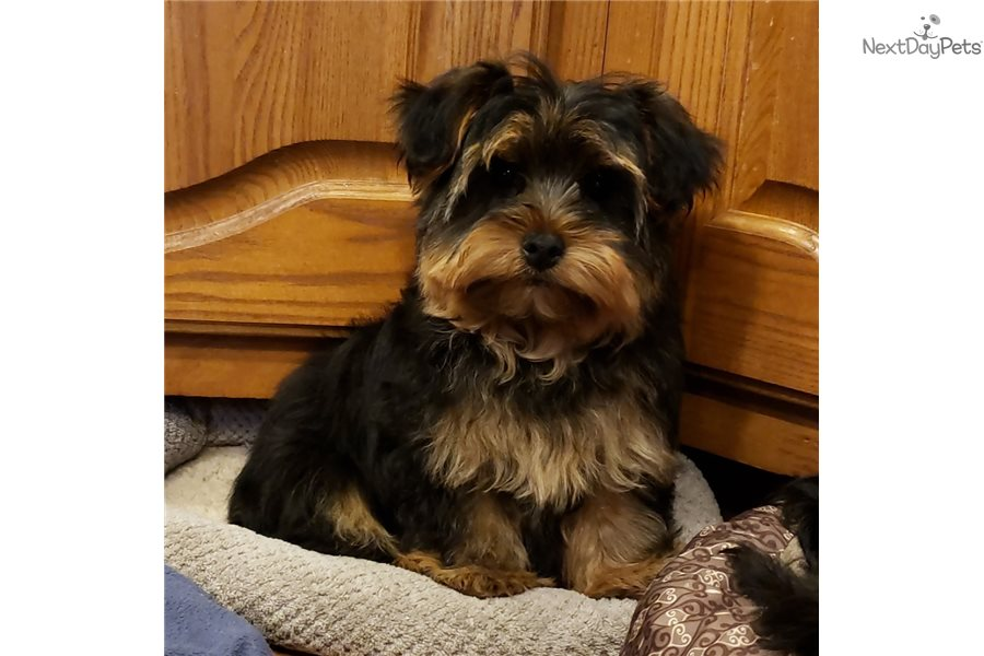 Jack: Morkie / Yorktese puppy for sale near Kirksville, Missouri