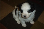 Featured Breeder of Malti Pom Maltipoms with Puppies For Sale