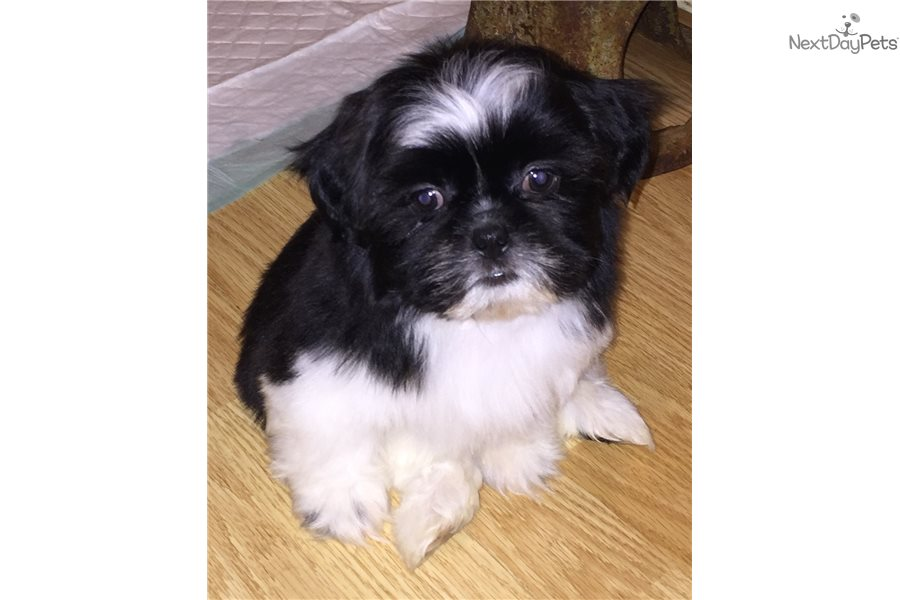 Scrappy Shih Tzu Puppy For Sale Near Bloomington Indiana
