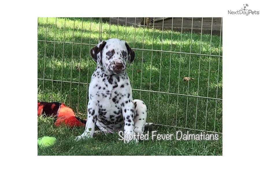 Gavin Dalmatian Puppy For Sale Near Springfield Missouri