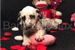 Border collie puppies for sale pretoria