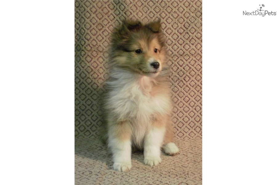 Pearl Shetland Sheepdog Sheltie Puppy For Sale Near Des Moines