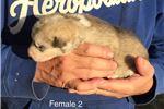 Picture of Female 2 - AKC Alaskan Malamute Puppy