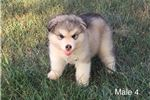 Male 4 - AKC Alaskan Malamute puppy | Puppy at 6 weeks of age for sale