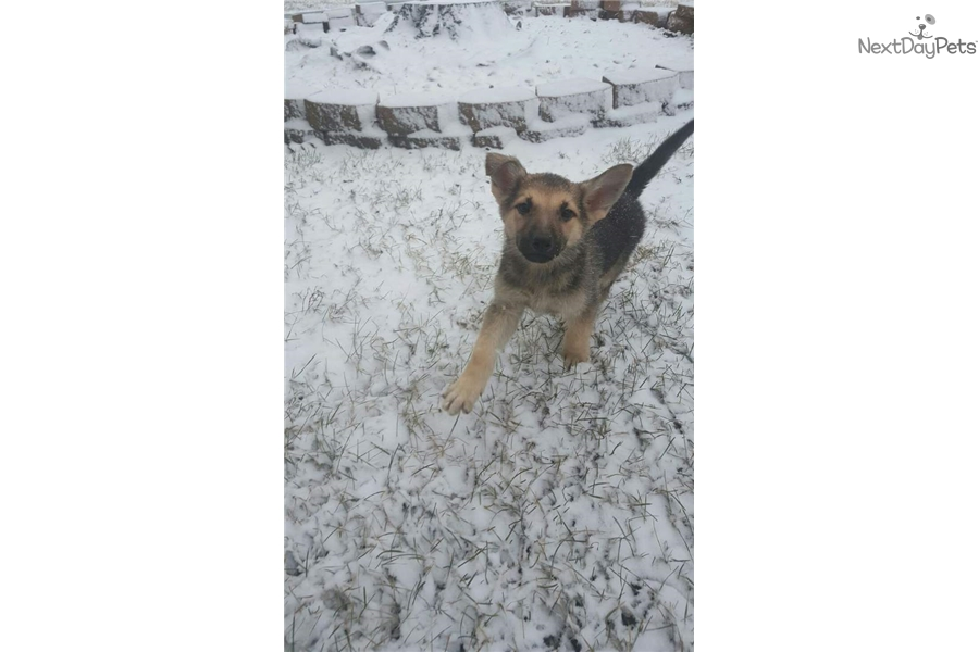 Rocky German Shepherd Puppy For Sale Near Chicago Illinois