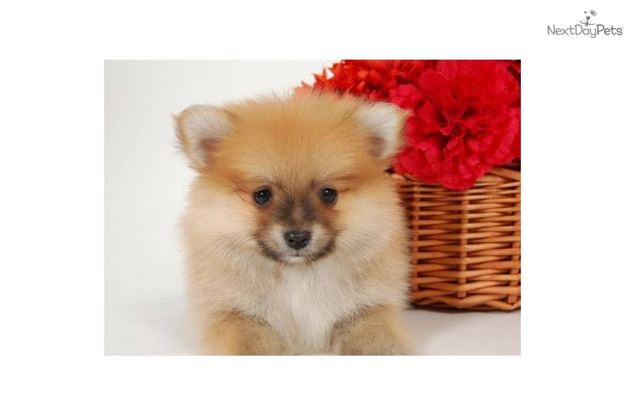 teddy bear pomeranian prices pomeranian puppy for sale near washington dc 2aeee6d4 f2e1 1831
