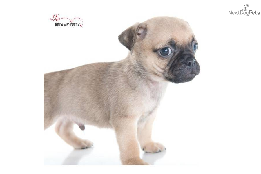Images of Pocket Puggle Puppies For Sale - #rock-cafe